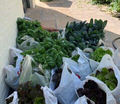 tower garden harvest 6 (1)